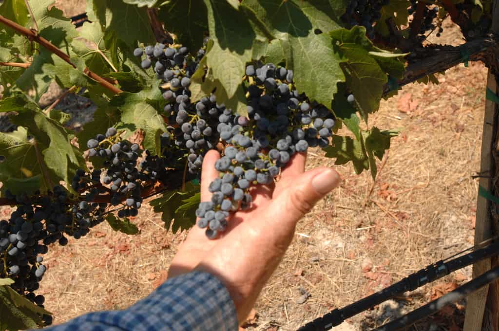 Tom holds some grapes that are almost ready for harvest